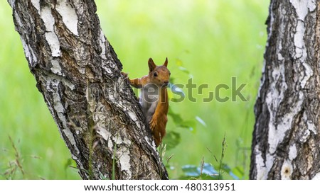 Fluffy squirrel on the tree hanging on his hind legs