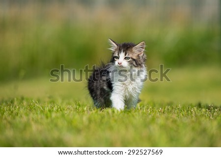 fluffy tabby and white kitten outdoors in summer