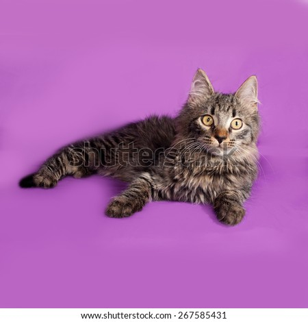 Fluffy tabby Siberian kitten lying on lilac background - stock photo