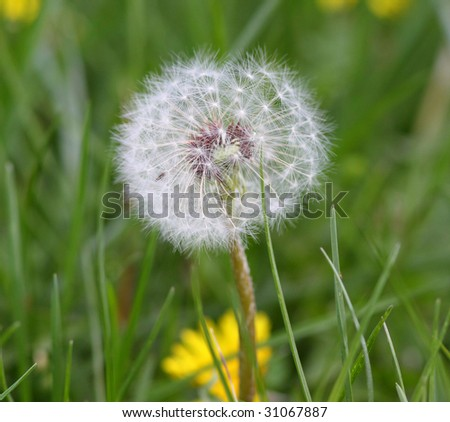 fluffy white dandelion going to seed