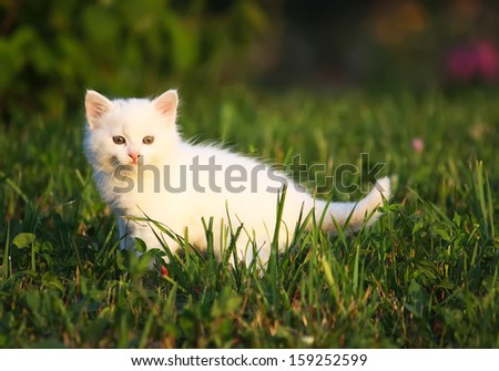 Fluffy white kitten sitting on the grass.