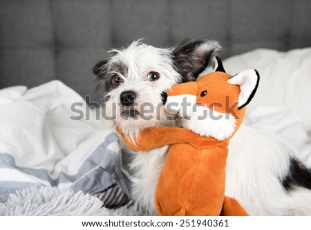 Fluffy White Terrier Dog Relaxing being Hugged by Orange Fox Toy - stock photo