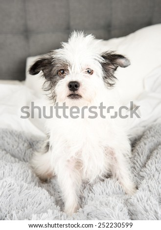 Fluffy White Terrier Dog Relaxing on Gray Blanket - stock photo