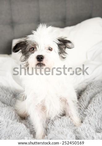Fluffy White Terrier Dog Relaxing on Gray Blanket - stock photo