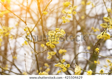 Fluffy yellow buds of pussy-willow - stock photo