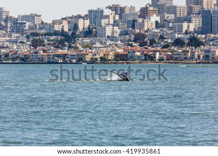 Fluke of Gray Whale a critical endangered species making an unusual appearance in San Francisco Bay - stock photo