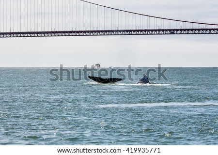 Fluke of Mother Gray Whale and baby, a critically endangered species, in San Francisco Bay by the Golden Gate Bridge
