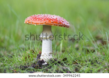Fly agaric (Amanita muscaria) in a forest in the Netherlands