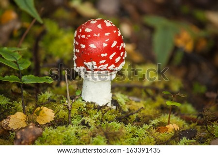 fly agaric in forest - stock photo