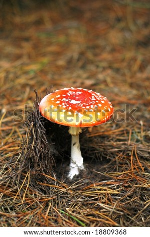 Fly agaric in forest 7