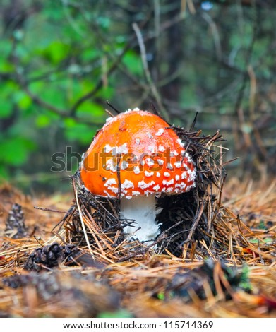 Fly-agaric in the forest in sunny weather