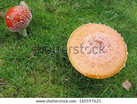 Fly agaric or fly amanita (amanita muscaria) is a poisonous fungus