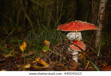 Fly agarics close up in the wood macro poisonous mushrooms  - stock photo