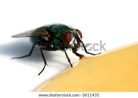 fly drinking honey - stock photo