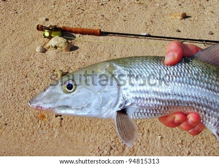 Fly fishing in saltwater flats of Mexico - Strong fighting fish, the bonefish with a fly in its mouth and fly rod pole in background - stock photo