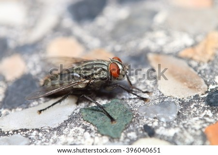 Fly insect in Thailand