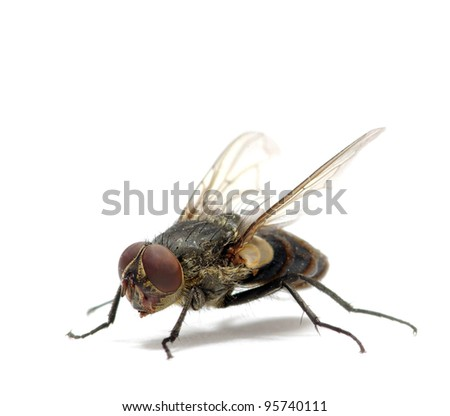 fly isolate on a white - stock photo