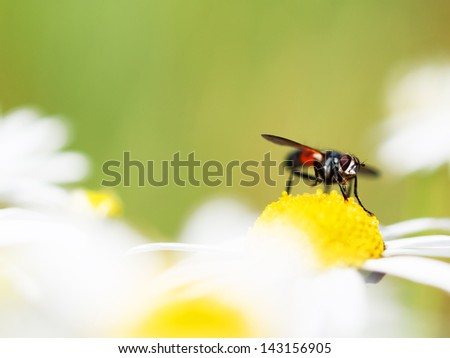 Fly on a camomile flower - stock photo