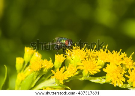Fly on goldenrod, solidago, flower, close-up with bokeh background, selective focus, shallow DOF
