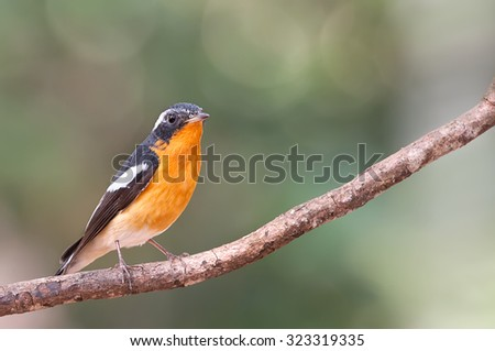 Flycatcher male catch limp tree in nature