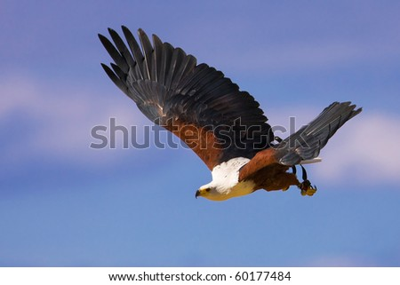 Flying African fish eagle (Haliaeetus vocifer) - stock photo