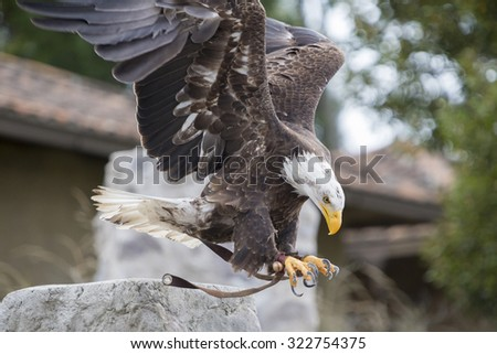 Flying American Bald Eagle landing on the glove of his trainer at an outdoor bird sanctuary near Otavalo, Ecuador 2015. - stock photo