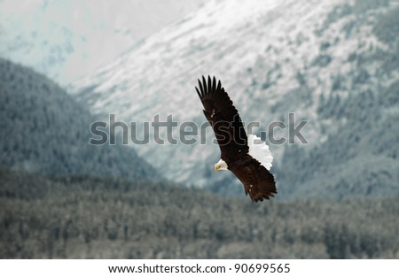 Flying Bald eagle. A flying Bald eagle against snow-covered mountains.The Chilkat Valley under a covering of snow, with mountains behind. Chilkat River .Alaska USA. Haliaeetus leucocephalus