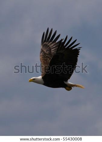 Flying bald eagle cloudy ski - stock photo