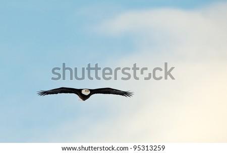 Flying Bald Eagle (Haliaeetus leucocephalus washingtoniensis) - stock photo