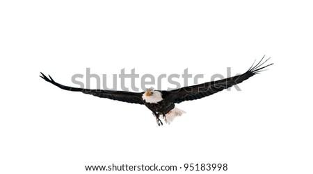 Flying Bald Eagle (Haliaeetus leucocephalus washingtoniensis). Isolated on white - stock photo