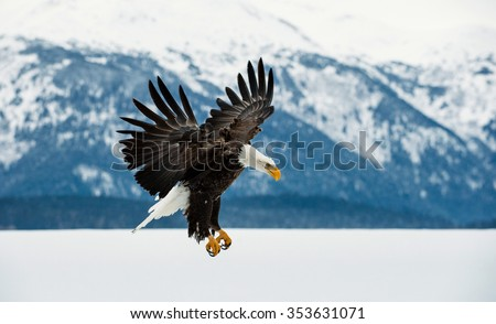 Flying bald eagle ( Haliaeetus leucocephalus washingtoniensis ) over snow-covered mountains. Winter Alaska. USA   - stock photo