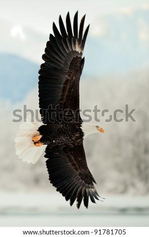 Flying Bald Eagle. Snow covered mountains. Alaska Chilkat Bald Eagle Preserve, Alaska, USA - stock photo