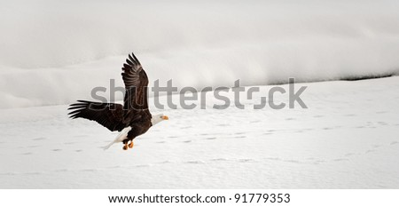 Flying Bald Eagle. Snow covered river. Alaska Chilkat Bald Eagle Preserve, Alaska, USA - stock photo