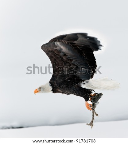 Flying Bald eagle with the fish clamped in claws.Haliaeetus leucocephalus washingtoniensis - stock photo