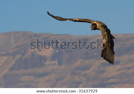 flying bearded vulture with mountain backdrop - stock photo