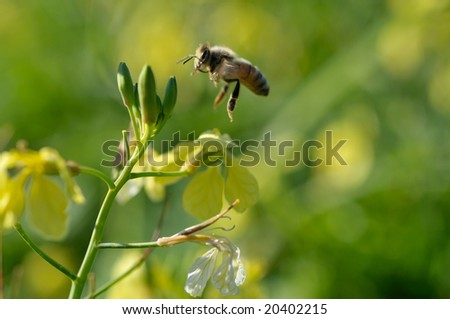 flying bee collecting honey