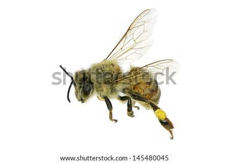 Flying bee. Isolated on white background - stock photo
