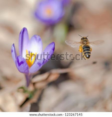 Flying bee pollinate spring flowers. - stock photo