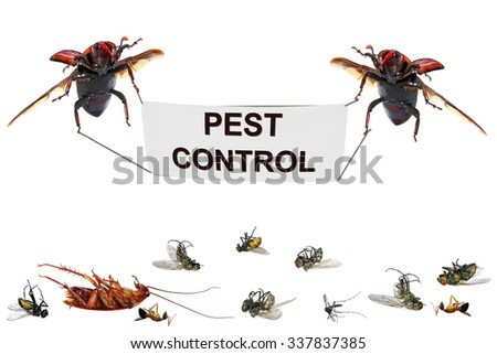 Flying beetles of Red palm weevil (Rhynchophorus ferrugineus - main pest of date palm)  with Pest control banner and dead pest insects. Pest control concept. Isolated on a white background - stock photo
