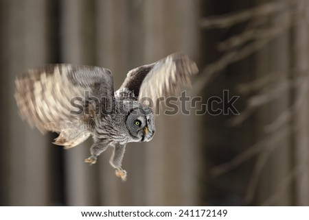 Flying big Great Grey Owl in the forest, single bird with open wings - stock photo