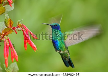 Flying bird. Bird with red flower. Bird in the forest. Bird in fly. Action scene with bird. Green and blue bird. Bird from Ecuador. Green Violet-ear, Colibri thalassinus, green hummingbird in nature. - stock photo