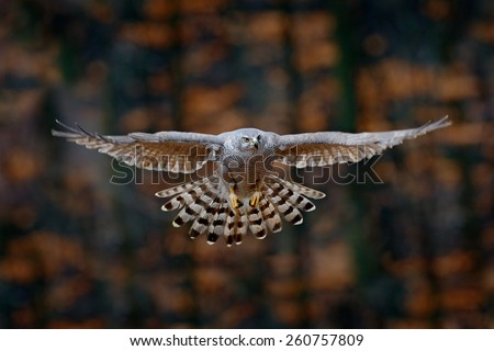 Flying bird Goshawk with blurred orange autumn tree forest in the background - stock photo