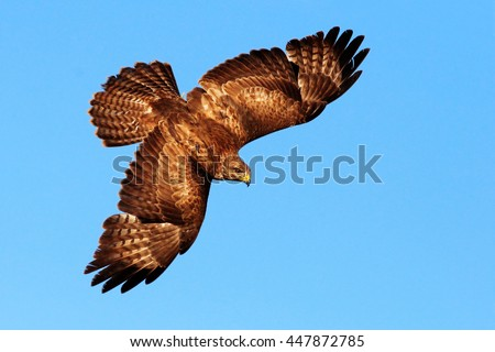 Flying bird of prey. Bird in the blue sky with open wings. Action scene from nature. Bird of prey Common Buzzard, Buteo buteo, in fly in the sky.  - stock photo