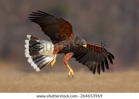 Flying bird of prey, Harris Hawk, Parabuteo unicinctus, landing - stock photo