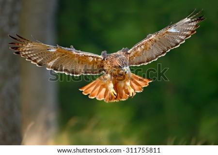 Flying bird of prey,  Red-tailed hawk, Buteo jamaicensis, landing in the forest - stock photo