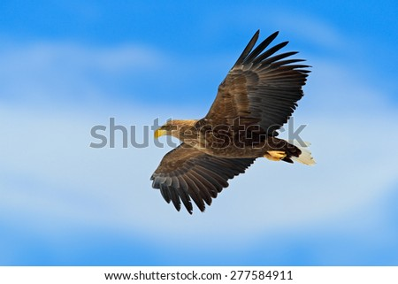 Flying bird of prey, White-tailed Eagle, Haliaeetus albicilla, with blue sky and white clouds in background - stock photo
