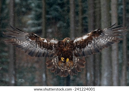 Flying birds of prey golden eagle with large wingspan, photo with snow flake during winter, dark forest in background - stock photo