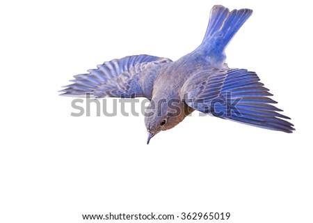 Flying Bluebird Isolated on White Background - stock photo