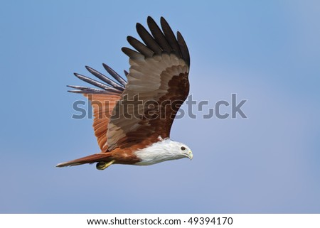 Flying Brahminy Kite - stock photo