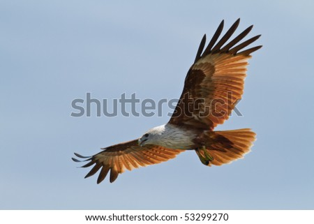 Flying Brahminy Kite at blue sky - stock photo